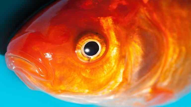 rybí oko a sluch ryb