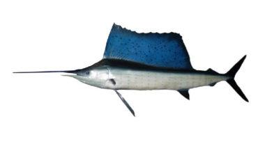 plachetník širokoploutvý-istiophorus platypterus