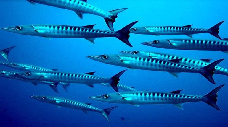 Barakuda-Sphyraena barracuda